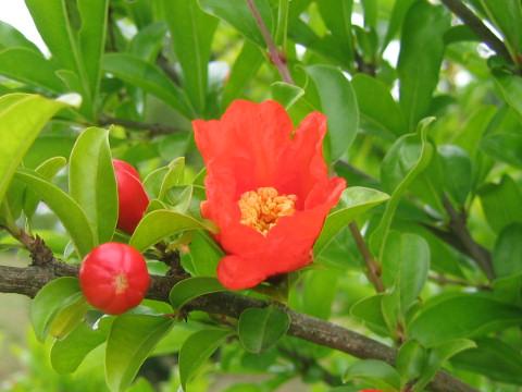 Pomegranateとは - がん用語 Web...