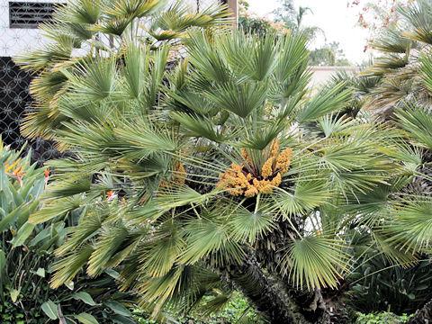 矮鶏唐棕櫚