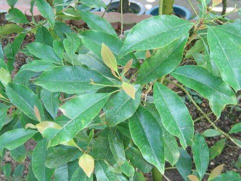 丁子の木はどんな植物?Weblio辞書