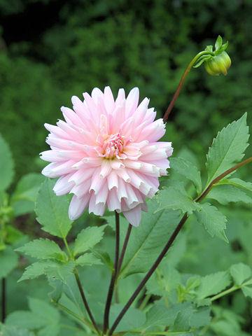 Dahlia hybrida