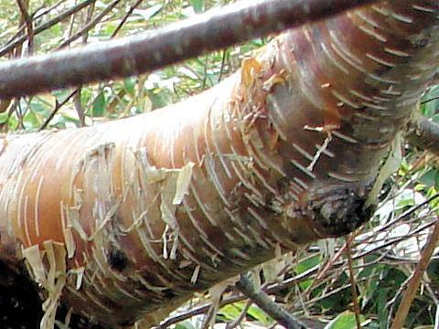 Gold birchはどんな植物?Weblio辞書