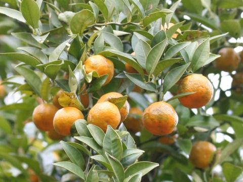 橘(たちばな)の意味や読み方 Web...