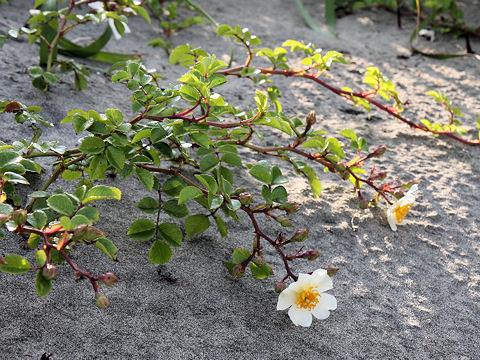 照り葉野薔薇