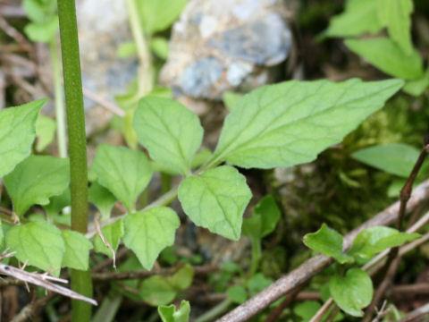 Valeriana flaccidissima