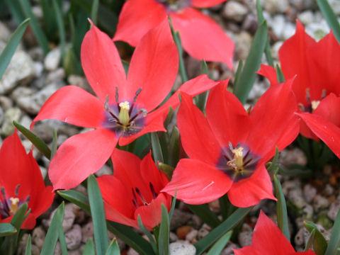 Tulipa maximowiczii
