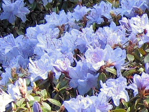 Rhododendron cv. Blue Diamond