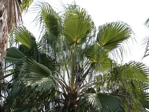 ワシントン椰子