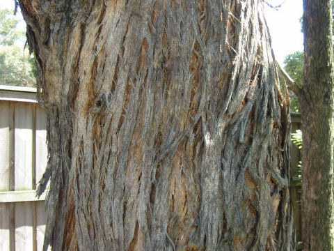 Eucalyptus tree」とは何? Webl...