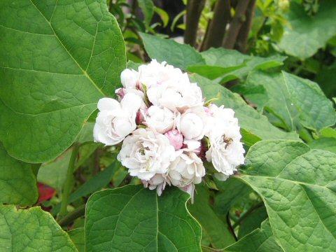 八重咲き臭木