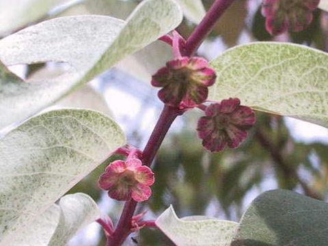 Breynia disticha cv. Roseopicta