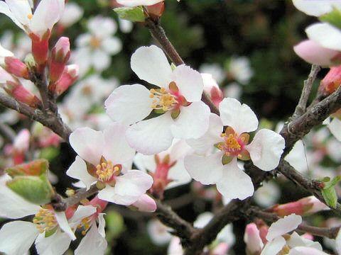桜桃(おうとう)の本来の意味 Web...