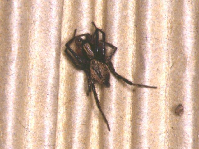 イヅツグモ
