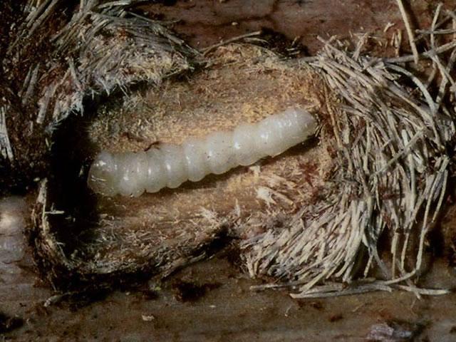 カラフトヒゲナガカミキリ