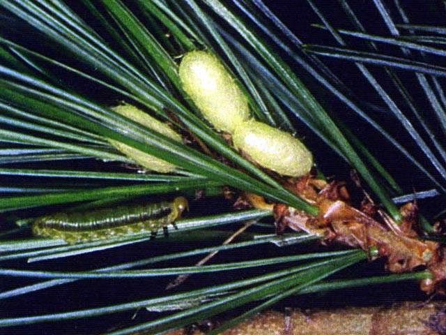 マツノミドリハバチ