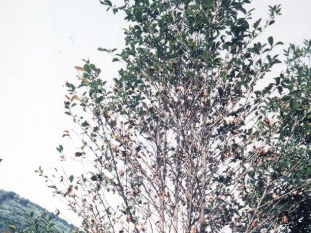 シキミ輪紋葉枯病