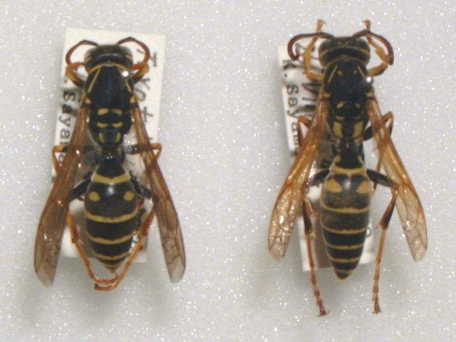 トガリフタモンアシナガバチ