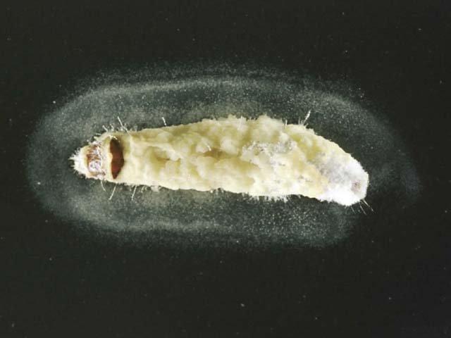Erynia radicans