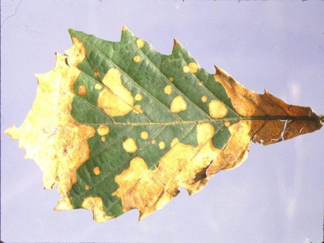 ナラ類コニエラ葉枯病