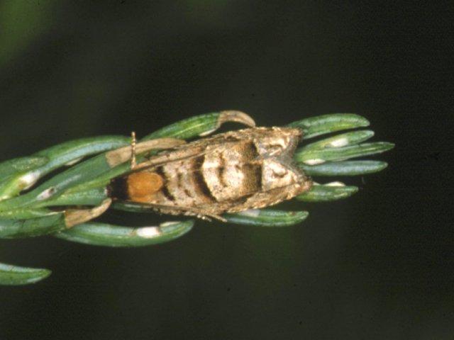 ヒノキカワモグリガ