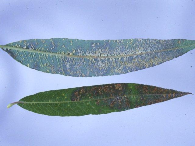 ヤナギ類葉さび病