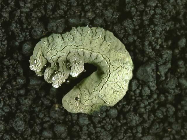 黒きょう病菌