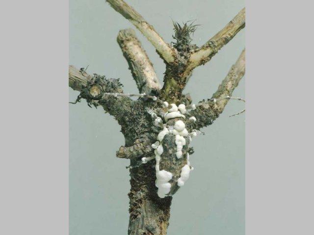 白きょう病菌