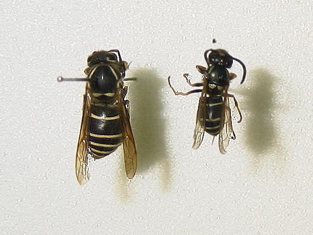 シダクロスズメバチ
