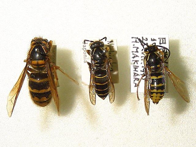 キオビホオナガスズメバチ