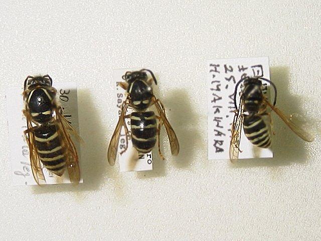 ニッポンホオナガスズメバチ