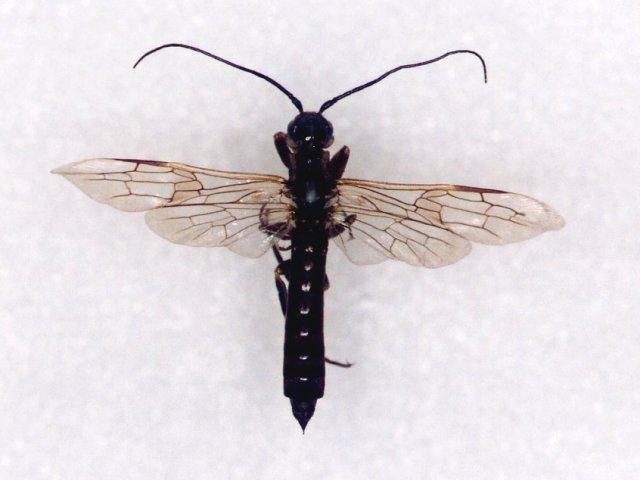 オナガキバチ