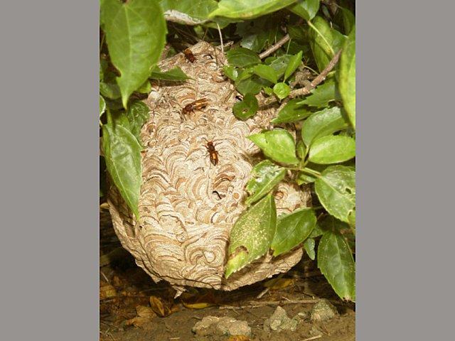 ツマグロスズメバチ