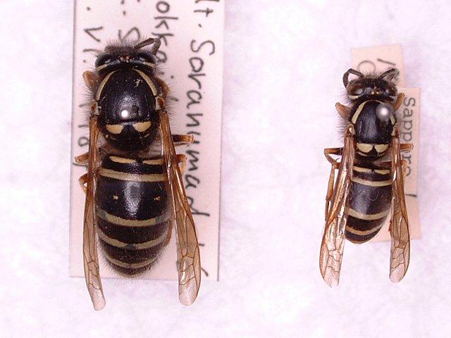 ツヤクロスズメバチ