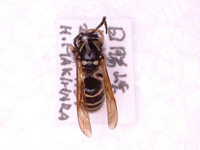 ヤドリホオナガスズメバチ