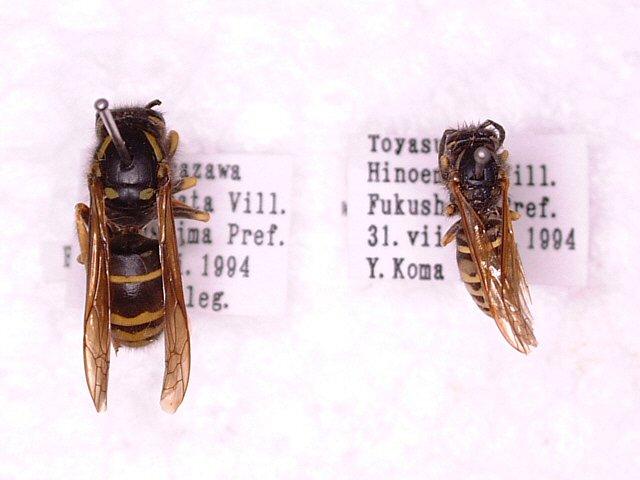 ヤドリクロスズメバチ