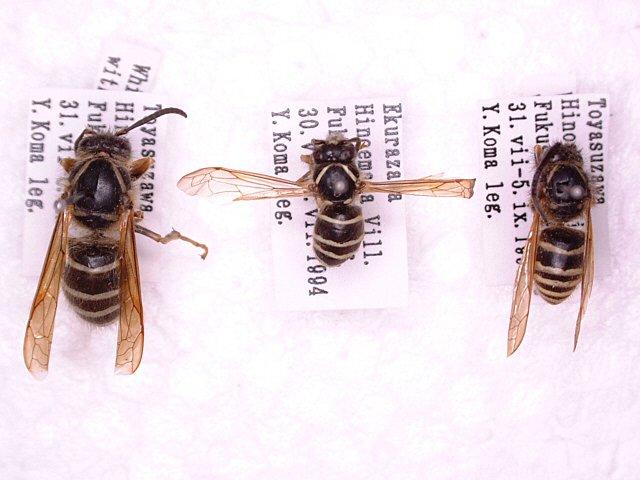 シロオビホオナガスズメバチ