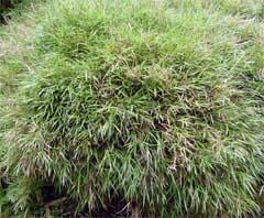 矮鶏琉球竹