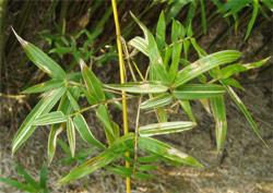 斑入鳳凰竹