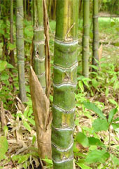 銀明布袋竹