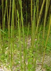 播磨大名竹