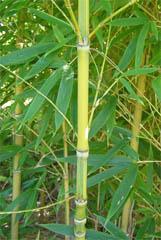 金明布袋竹