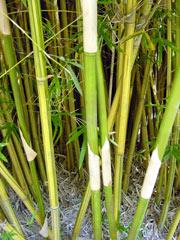 金明蘇方竹