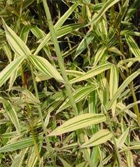 白縞陰陽竹