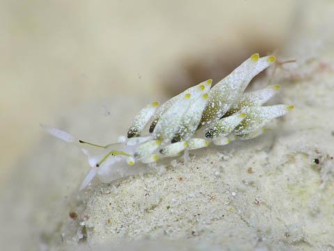 アリモウミウシ属の1種1
