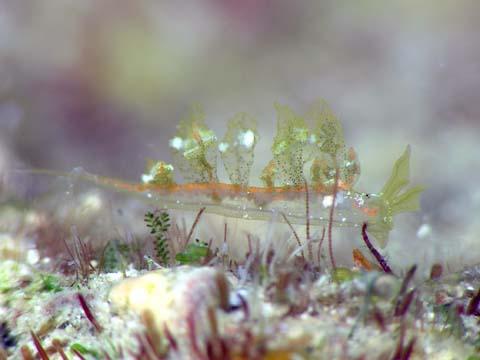 ヤセモウミウシ