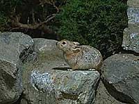 アフガンナキウサギ