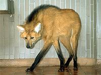 タテガミオオカミ