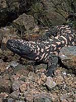 アメリカドクトカゲ