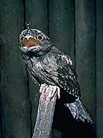 オーストラリアガマグチヨタカ