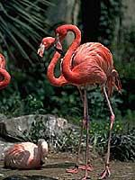 ベニイロフラミンゴ