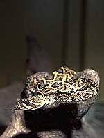 トウブダイヤガラガラヘビ